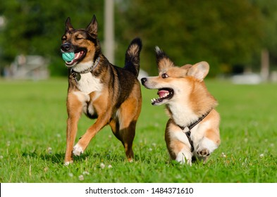 Young energetic welsh corgi pembroke is playing with half-breed dog. Corgi with a long tail. How to protect your dogs from overheating. Dogs are getting thirsty.