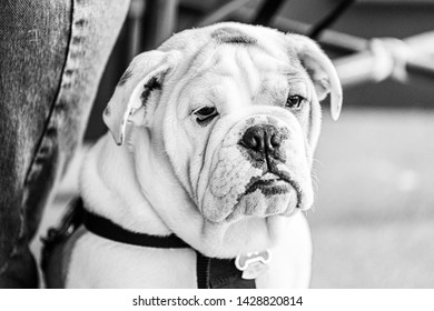 A young English Bulldog puppy sits next to his owner.