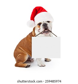 A young English Bulldog sitting against a white background wearing a Christmas Santa Claus hat and holding a blank sign in his mouth