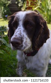 Young English Springer Spaniel dog with brown eyes looks inquisitively at the camera in an outside garden setting on a sunny summer/spring day. Atmosphere is bright with a vibrant green background.
