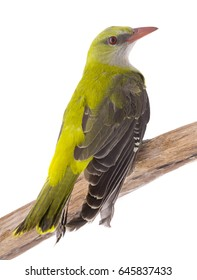 Young Eurasian Golden Oriole (Oriolus oriolus) isolated on a white background