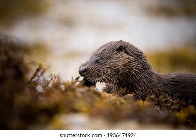 A young Eurasian Otter eating a Mackerel on the seashore