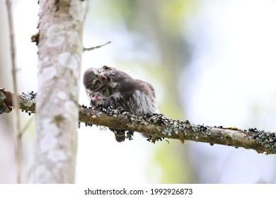 young Eurasian pygmy owl  is fed Swabian Jura
