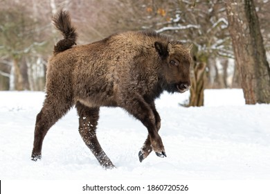 Young european bison, bison bonasus, running on snow in winter forest. Wisent calf jumping into the air in cold white environment from side view. Huge wild mammal with brown fur rushing.