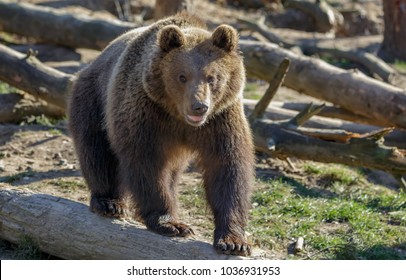 Young European brown bear