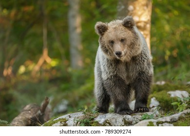 A young European brown bear in ancient Slovenian forest