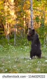 Young European brown bear (Ursus arctos) hugging a tree in swamp in North-Eastern Finland at the end of the June 2018.