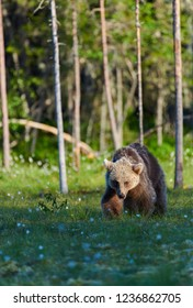 Young European brown bear (Ursus arctos) walking on a swamp in North-Eastern Finland at the end of the June 2018 in the evening light.