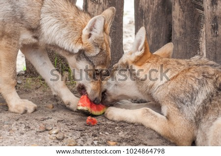 Young European Grey Wolf Puppy Feeding Stock Photo (Edit Now
