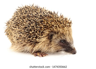 A young European hedgehog on a white background
