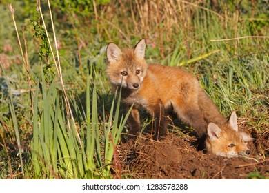 European Fox Red Images, Stock Photos & Vectors | Shutterstock