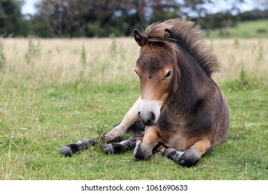Young Exmoor pony lying down on the grass on open field on Exmoor.