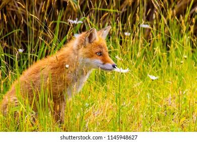Young Ezo red fox .The photography place is Rausu, Hokkaido  prefecture Japan(Shiretoko Peninsula).