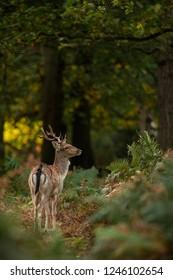 Young fallow deer among ferns during sunrise, Dama dama