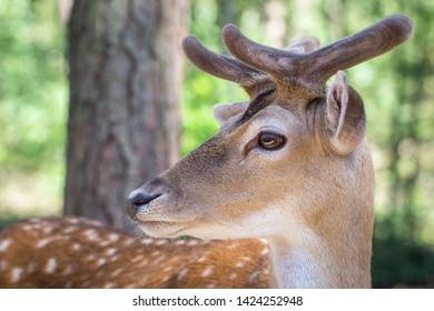 young fallow deer with antlers (dama dama)