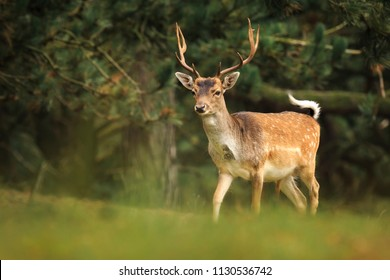 Young Fallow deer buck, Dama Dama, with small antlers walking through a dark forest during Fall season.