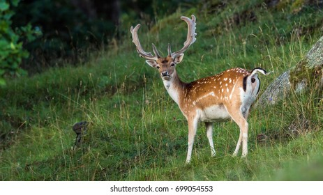 A young fallow deer buck who is old enough to have  shovel-shaped antlers in a woodland scenery