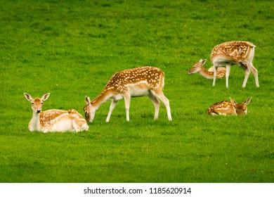 Young fallow deer calves (cervus dama / dama dama) in a green meadow in summer