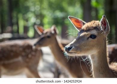 young fallow deer (dama dama)