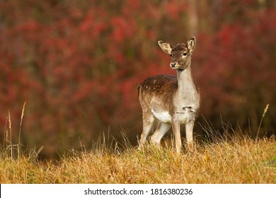 Young fallow deer, dama dama, fawn looking on autumn meadow with red leaves in background. Spotted mammal with brown fur standing in colorful autumn scenery with copy space.