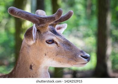 young fallow deer (dama dama) - portrait