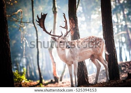 Young Fallow deer in the early morning light on the Dutch Hoge Veluwe