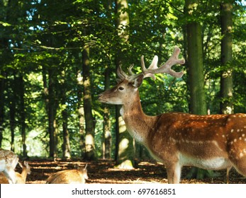 Young fallow deer in a green forest on a sunny day