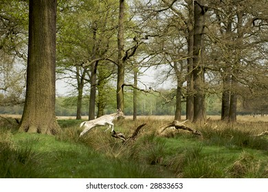 A Young Fallow Deer leaps over a stream in Richmond Park, Surrey. The deer is framed by large trees and dappled sunlight