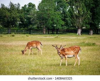 Young fallow deer in San Rossore Park, Pisa, Tuscany, Italy.