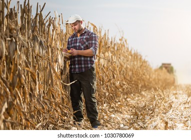 Young farmer examine corn in corn field during harvests