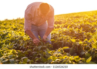 Young farmer in filed examining soybean corp at sunset.