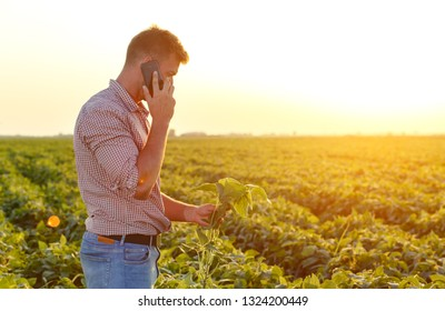 Young farmer in filed examining soybean corp and talking at phone.