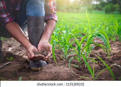 Young farmer holding pile of arable soil, male agronomist examining quality of fertile agricultural land, in cornfield.