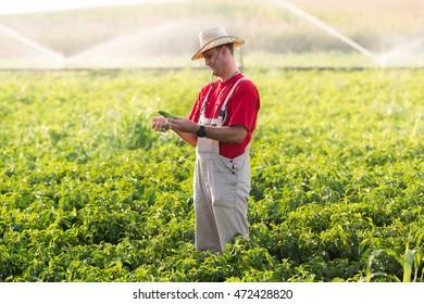 Young farmer in pepper fields