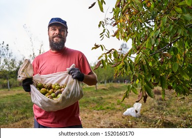 Young farmer picking walnuts in the orchard