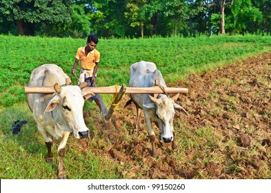 Young farmer plowing the farmland in the conservative way with wooden plough and bulls