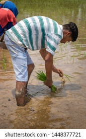 A young farmer working in his paddy field. Indian farmer working in his paddy field
