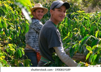 young farmers collect coffee beans.