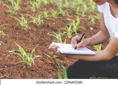 Young farmers are in the corn plantations,  Female researchers are examining and taking notes in the corn seed field.