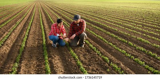 Junglandwirte, die junge Soja im Frühjahr ausrufen