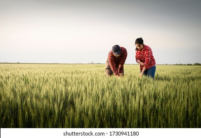 Young farmers examing planted young  wheat in spring