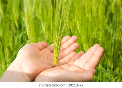 Young farmers hand holding green wheat.