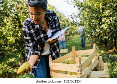 Young female african american farmer examining quality of pears after piking in orchard.