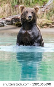 Young female Alaskan Bear standing in green - teal glacial water.
