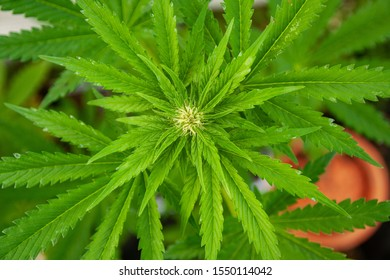 Young Female Cannabis THC Plant Cultivar Jack Herrer Growing on a Medical Marijuana Farm in Europe