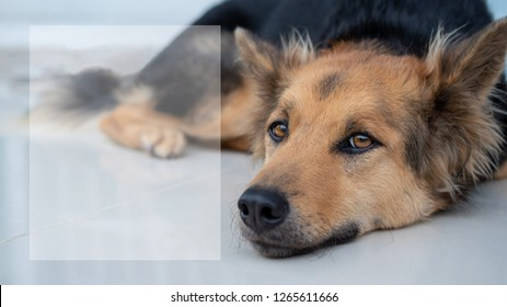 Young female dog lying down on ground and looking forward, including transparent text box on left side, German shepherd dog, Watchdog concept