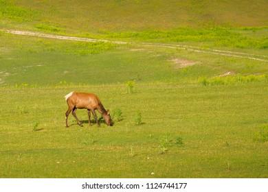 Young female elk / cervus elaphus, grazing in the field