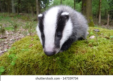 Young female of European badger (Meles meles).