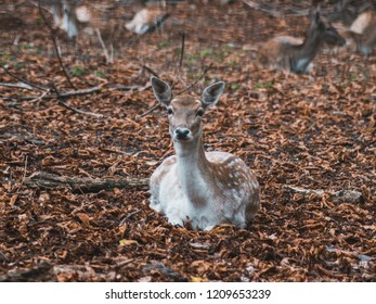 young female fallow deer lying on the floor, looking at camera - with autumn leaves on the ground