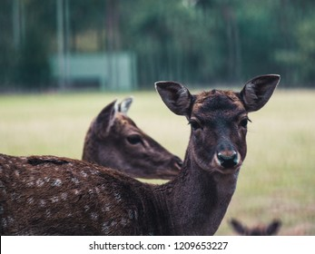 young female fallow deer standing on a meadow in Germany, looking into the camera